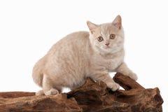 Gato Pequeño gatito británico poner crema rojo en el fondo blanco Fotografía de archivo libre de regalías
