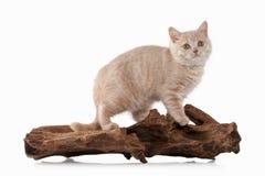Gato Pequeño gatito británico poner crema rojo en el fondo blanco Foto de archivo libre de regalías