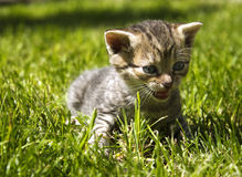 Gato pequeno Fotografia de Stock Royalty Free