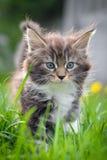 Gato pequeno - Coon de Maine Imagens de Stock Royalty Free