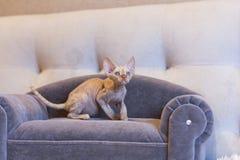 Gato pequeno de Devon Rex do gatinho que senta-se no sofá azul Foto de Stock Royalty Free