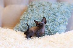 Gato pequeno de Devon Rex do gatinho que senta-se no sofá azul Imagens de Stock Royalty Free