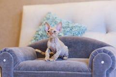 Gato pequeno de Devon Rex do gatinho que senta-se no sofá azul Fotografia de Stock