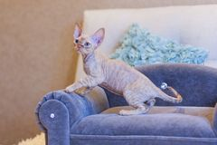Gato pequeno de Devon Rex do gatinho que senta-se no sofá azul Imagem de Stock Royalty Free