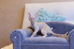 Gato pequeno de Devon Rex do gatinho que senta-se no sofá azul Fotos de Stock Royalty Free