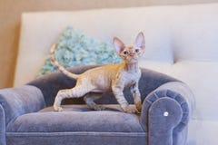 Gato pequeno de Devon Rex do gatinho que senta-se no sofá azul Foto de Stock