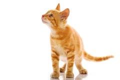 Gato pequeno vermelho Imagens de Stock Royalty Free