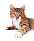 Gato perdido adoptado Imágenes de archivo libres de regalías