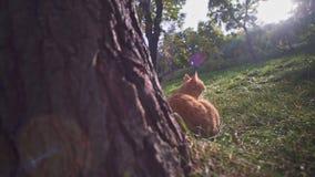 Gato perdido anaranjado en el parque de la ciudad de Odessa Ukraine que se sienta cerca de árbol y que pide la comida metrajes