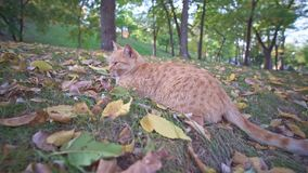 Gato perdido anaranjado enojado que se sienta y que se relaja en parque de la ciudad de Odessa en Ucrania en un día soleado del v almacen de metraje de vídeo