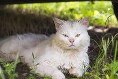 Gato perdido blanco con diversos ojos coloreados Foto de archivo libre de regalías