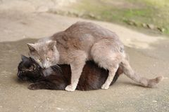 Gato perdido gris que hace el amor al gato negro Imagenes de archivo