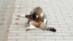 Gato perdido que prepara en la calle almacen de metraje de vídeo