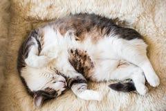 Gato perezoso gordo que duerme y que sueña con más comida en una oveja caliente Fotos de archivo libres de regalías