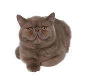 Gato perezoso grande fotos de archivo
