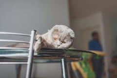 Gato perezoso que miente en una tabla de cocina Imagen de archivo