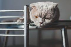 Gato perezoso que miente en una tabla de cocina Imagenes de archivo