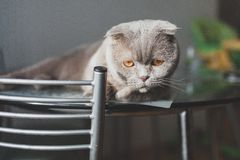 Gato perezoso que miente en una tabla de cocina Foto de archivo