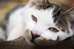 gato perezoso que mira Imagen de archivo
