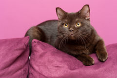 Gato perezoso que pone en el sofá Imágenes de archivo libres de regalías