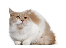 Gato persa, 11 meses velho Imagem de Stock