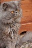 Gato persa Imagenes de archivo