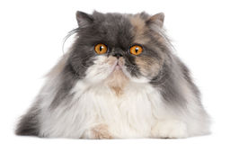Gato persa, 18 meses velho Imagem de Stock Royalty Free