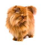 Gato persa Imagem de Stock