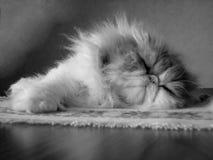 Gato persa Imágenes de archivo libres de regalías