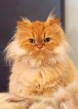 Gato persa Imagens de Stock Royalty Free