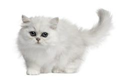 Gato persa, 3 meses, recorriendo Imagen de archivo libre de regalías