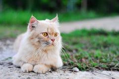 gato persa Fotos de Stock