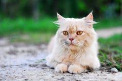 gato persa Imagens de Stock