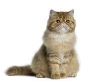 Gato persa, 5 meses, sentándose Imagen de archivo