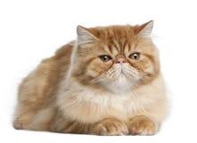 Gato persa, 5 meses velho, encontrando-se Imagem de Stock Royalty Free