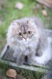 gato persa fotografia de stock