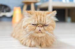 gato persa Fotografía de archivo libre de regalías