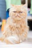 gato persa Fotografía de archivo
