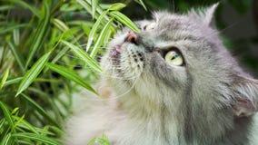 gato persa Imagem de Stock Royalty Free