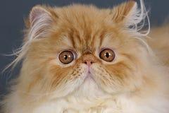 Gato persa. fotografia de stock royalty free