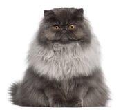 Gato persa, 8 meses velho, sentando-se Fotografia de Stock