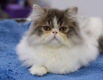 gato persa Fotografia de Stock Royalty Free