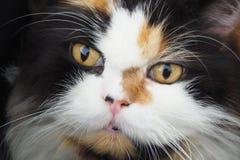 gato persa Fotos de archivo