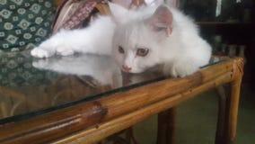 gato persa Imagen de archivo libre de regalías