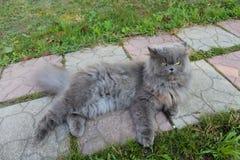 Gato persa agradable fotos de archivo