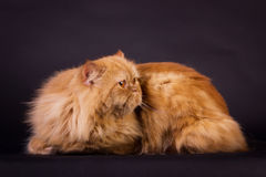Gato persa alaranjado Fotografia de Stock