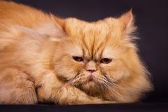 Gato persa alaranjado Foto de Stock