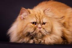 Gato persa alaranjado Fotografia de Stock Royalty Free