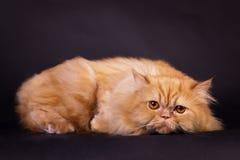 Gato persa alaranjado Imagens de Stock