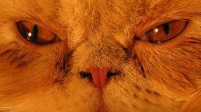 Gato persa - ascendente próximo Imagens de Stock